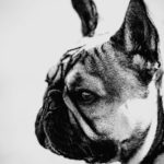French bulldog black and white photograph