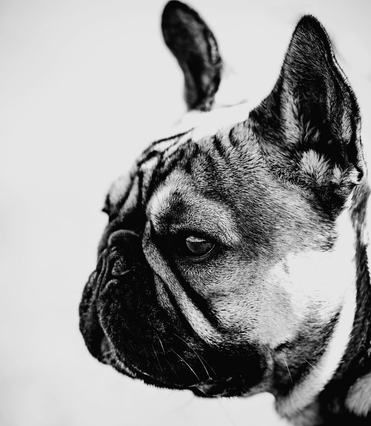 French bulldog black and white photograph