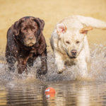 Brown and yellow labradors running into the sea