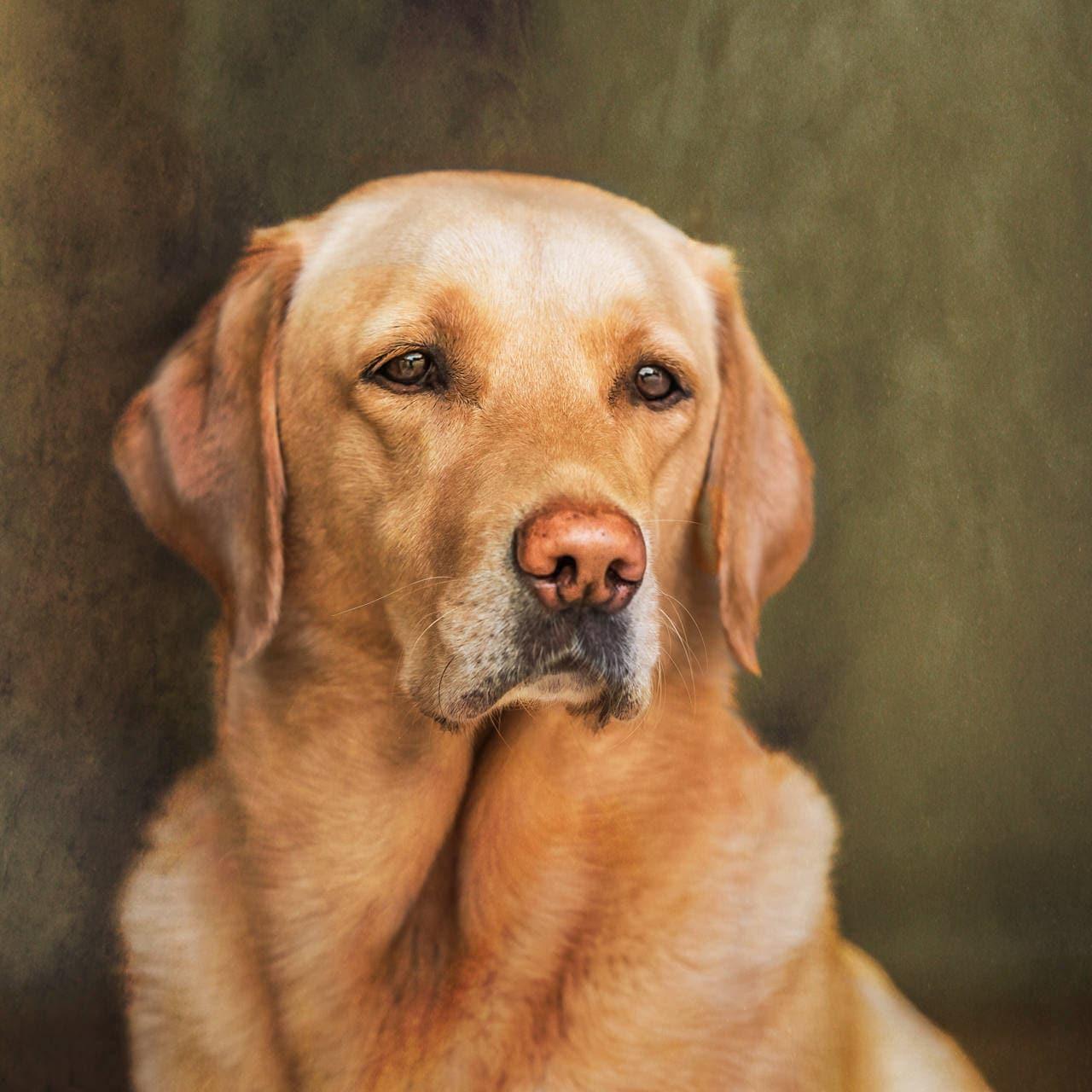 Golden labrador fine art photo