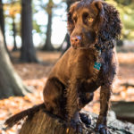 Chocolate Cocker Spaniel in woods