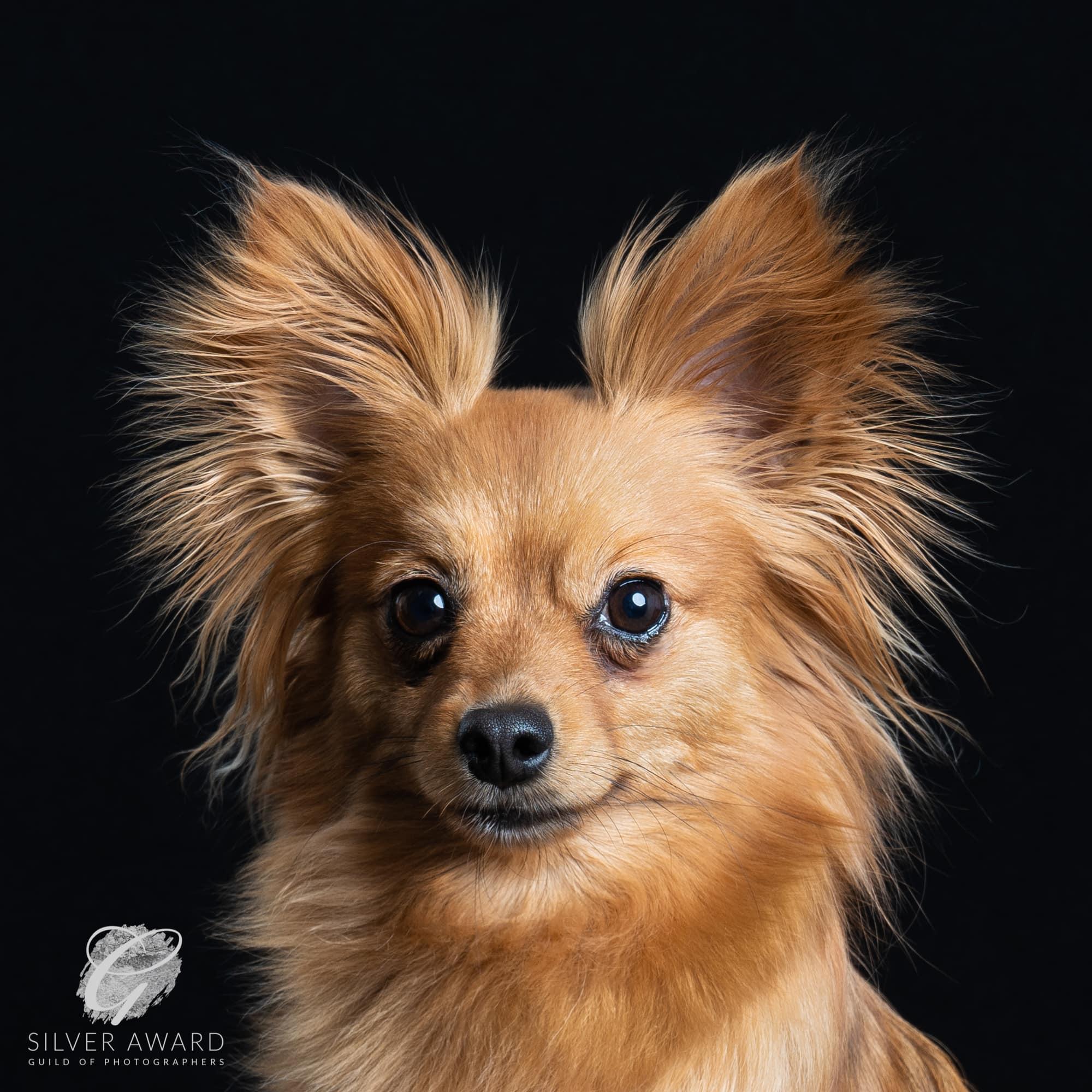 Chihuahua x Papillon