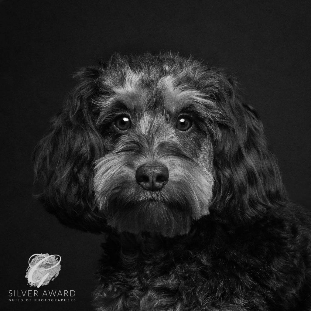 Cockerpoo black & white